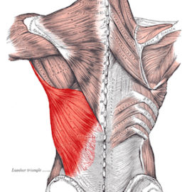 Latissimus Dorsi Muscle and Function